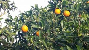 Mandarijnen uit eigen tuin